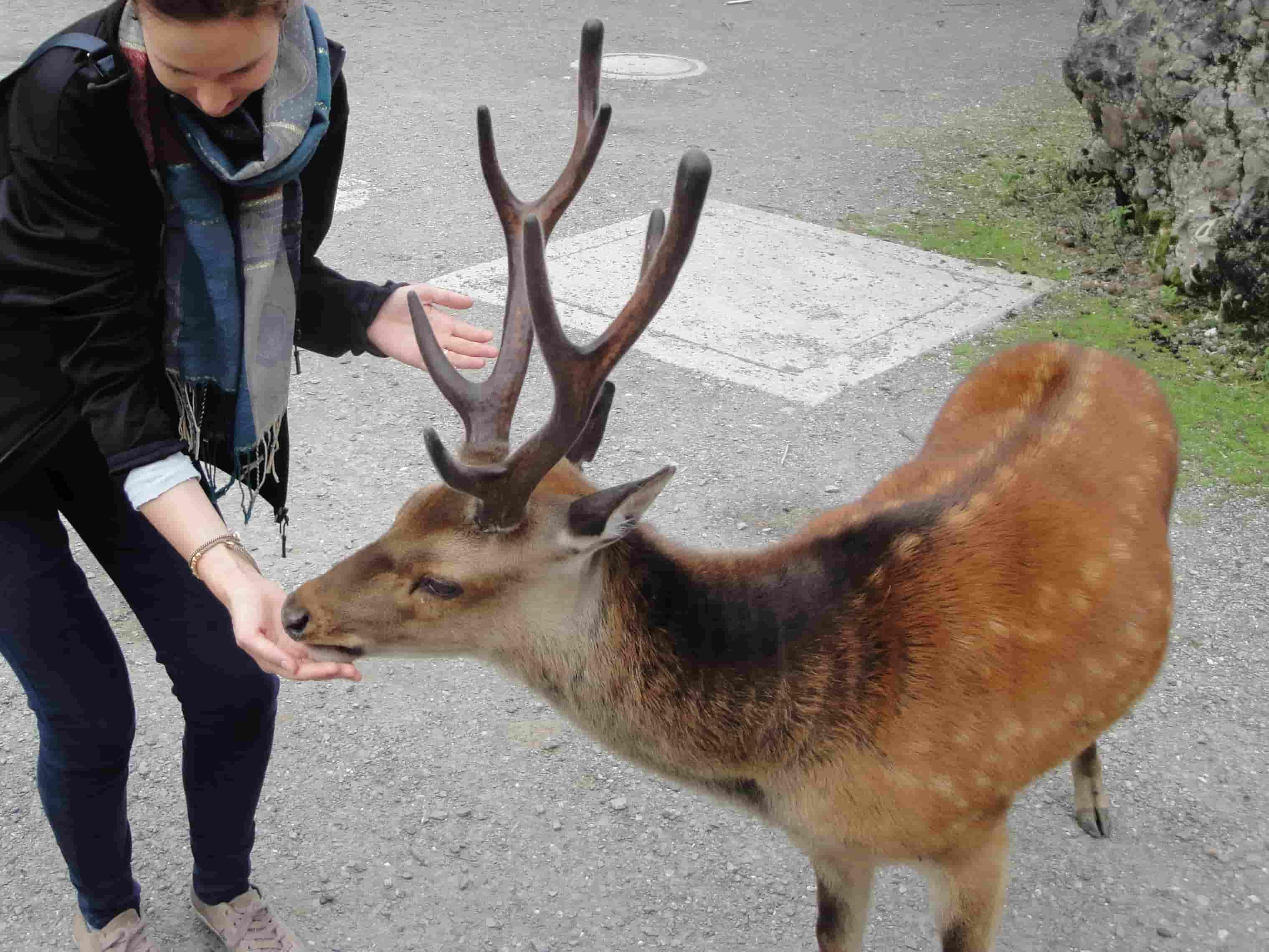 Cervo sika affamato al parco Goldau