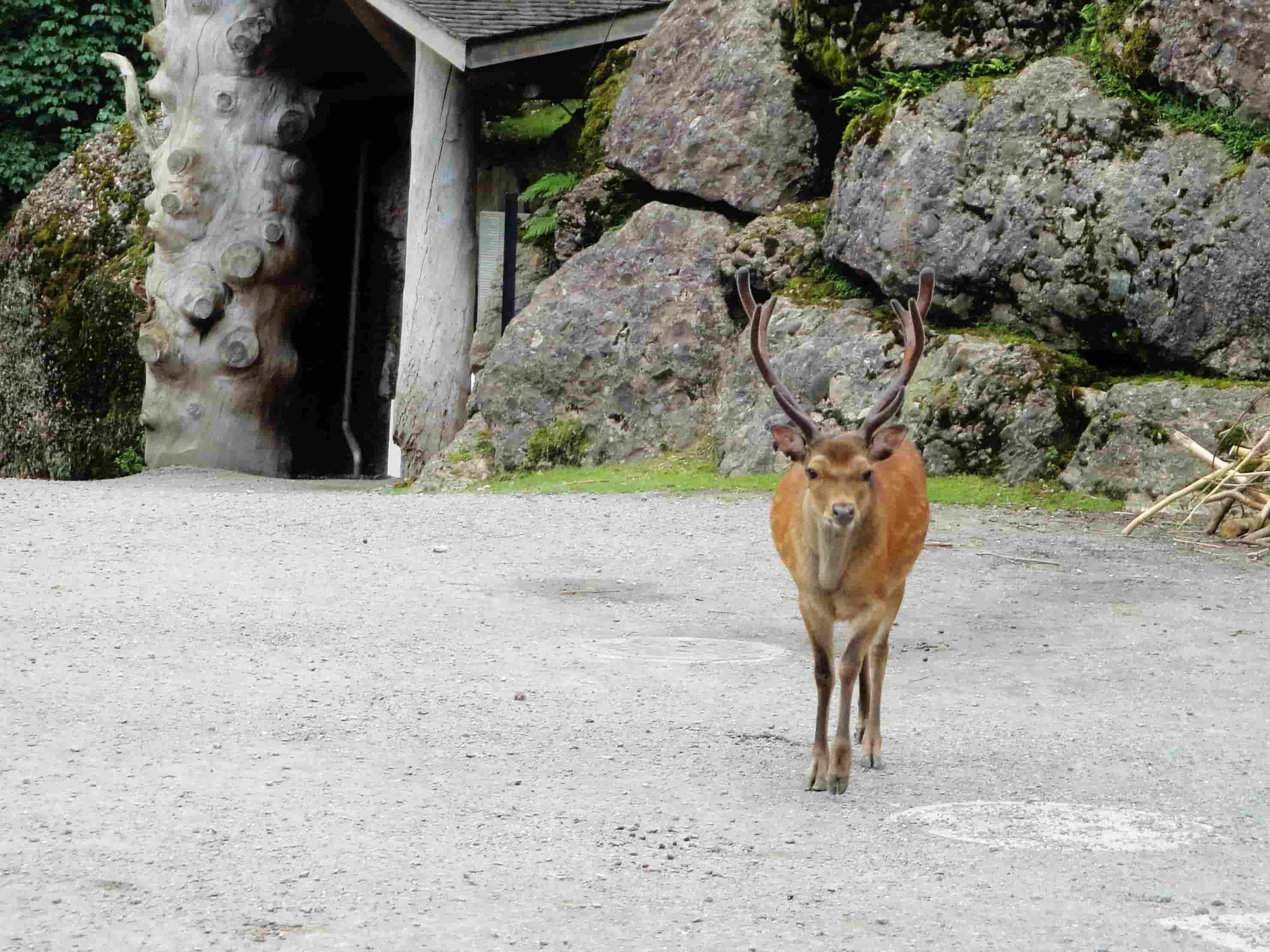 Cervo sika al parco Goldau