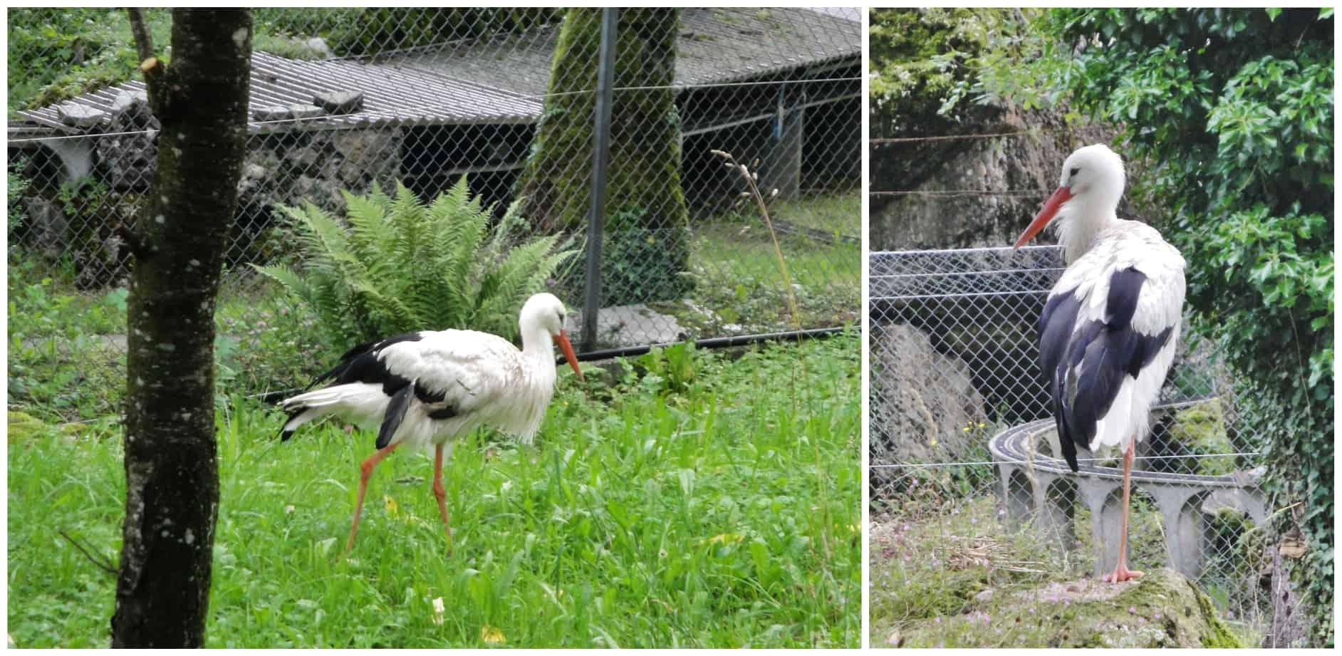 Cicogna bianca al parco Goldau