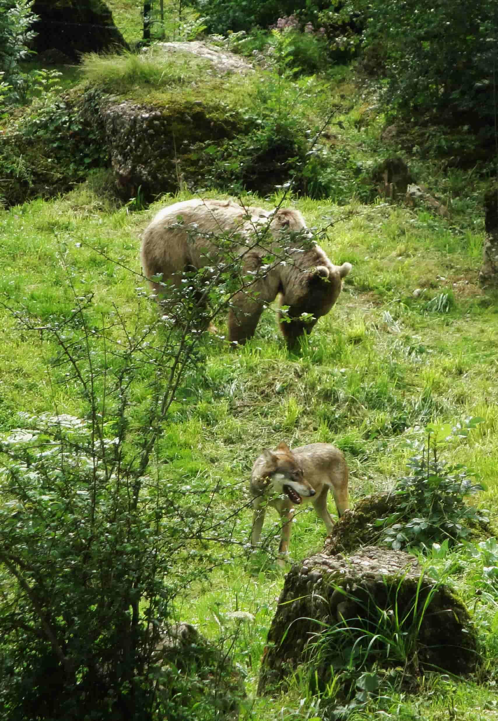 Un orso e un lupo al parco Goldau