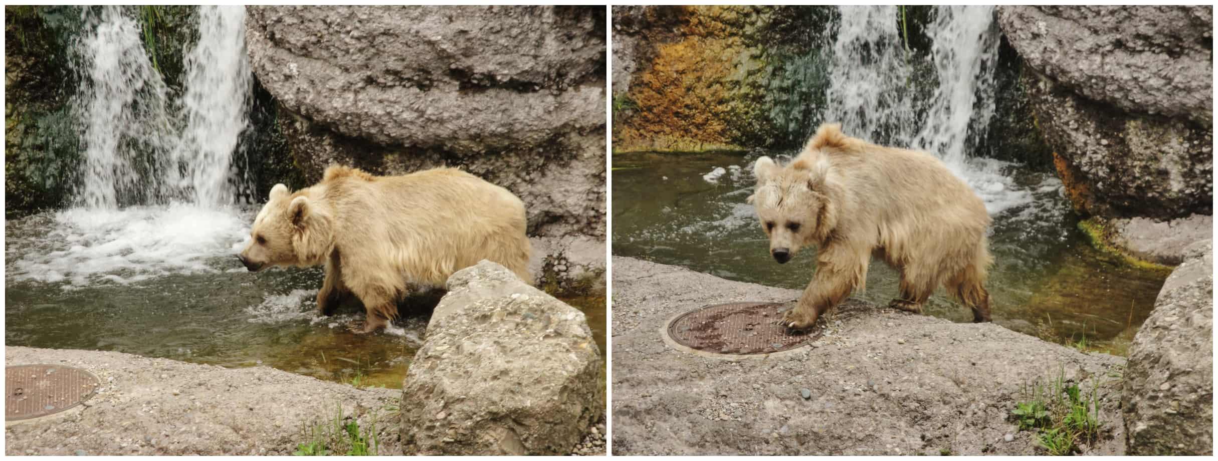 Orso siriano al parco Goldau