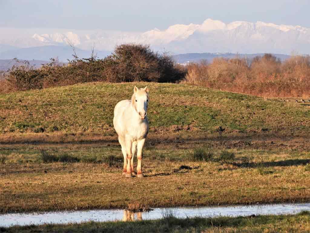Un cavallo bianco Camargue