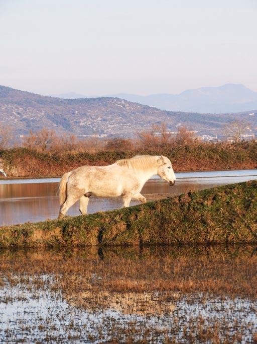 Cavalli Camargue alla Cona