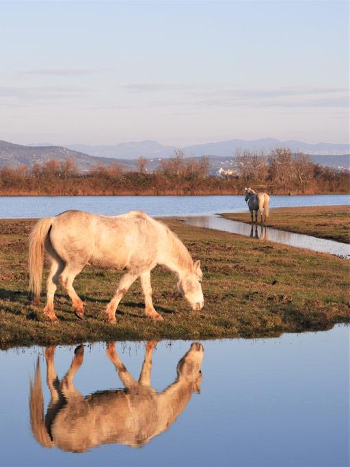 L'isola della Cona e i cavalli Camargue